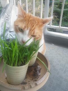 猫草できました